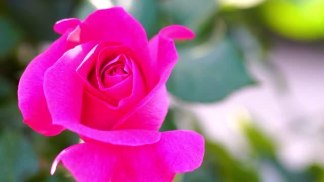 巨大なピンクのバラ - 極端なクローズアップ点の映像素材/bロール