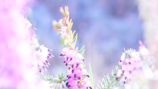 pink heather - heather stock videos & royalty-free footage