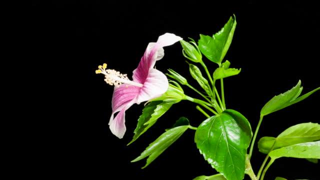 pink hibiskus blumen - eibisch tropische blume stock-videos und b-roll-filmmaterial
