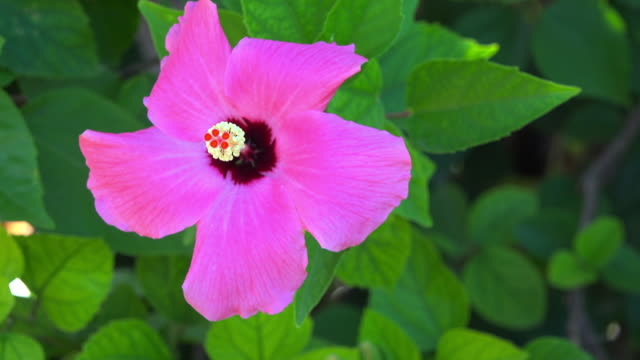 pink hibiscus flower or 'mar pacifico' - temperate flower stock videos and b-roll footage