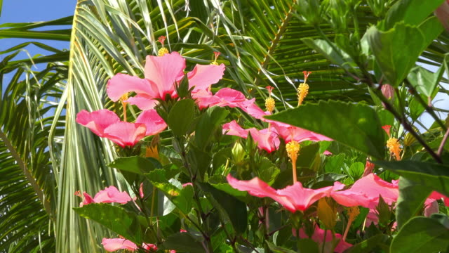 Pink hibiscus flowers or 'Mar Pacifico'