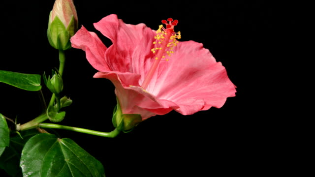 Pink Hibiscus Time Lapse