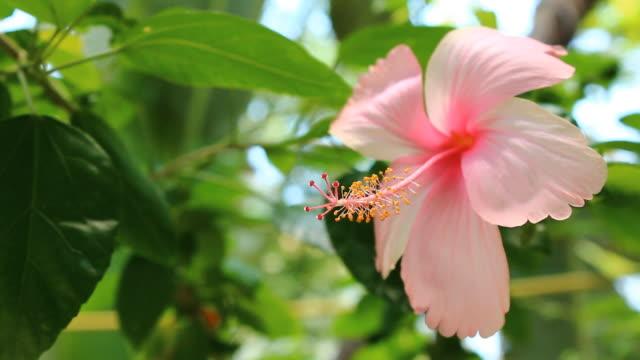 pink hibiskus - eibisch tropische blume stock-videos und b-roll-filmmaterial