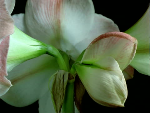 vídeos de stock, filmes e b-roll de t/l bcu pink hippeastrum flower opens and rotates, black background - codificável