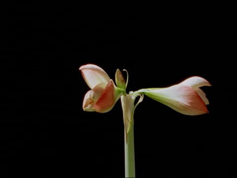 t/l pink hippeastrum flower opens - keyable stock videos & royalty-free footage