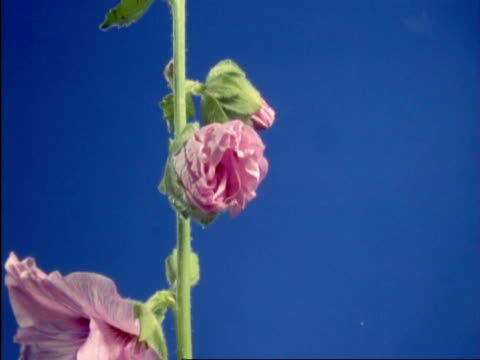 T/L pink Hollyhock flowers opening, England