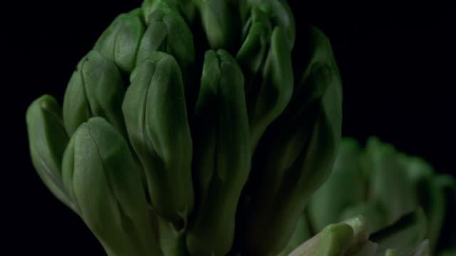 vidéos et rushes de t/l, ecu, pink hyacinth growing and blooming - bouton de fleur