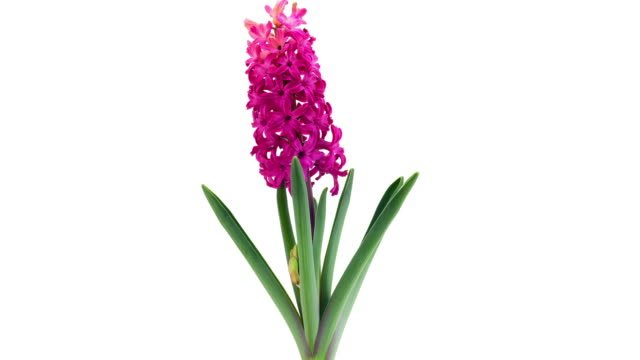 pink hyacinth; time lapse - flower head stock videos & royalty-free footage