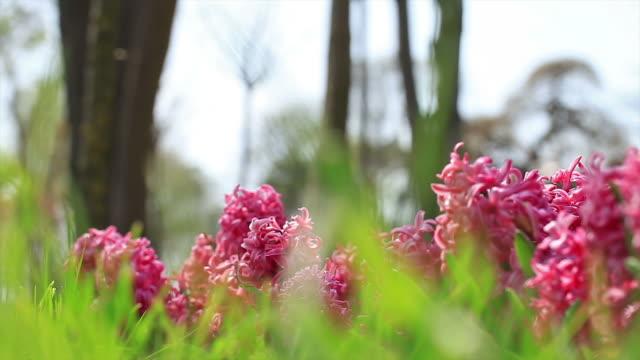hd :ピンク hyacinths - ヒヤシンス点の映像素材/bロール
