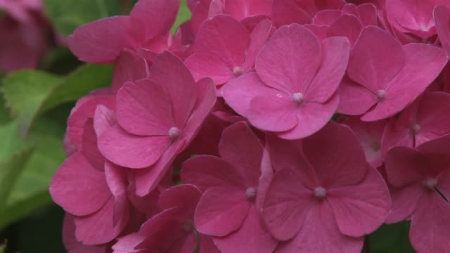 vídeos y material grabado en eventos de stock de cu zo pink hydrangea macrophylla flower / kastel-staadt, rhineland-palatinate, germany - hortensia