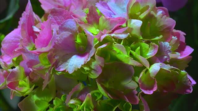 vídeos y material grabado en eventos de stock de t/l, ecu pink hydrangea wilting - hortensia