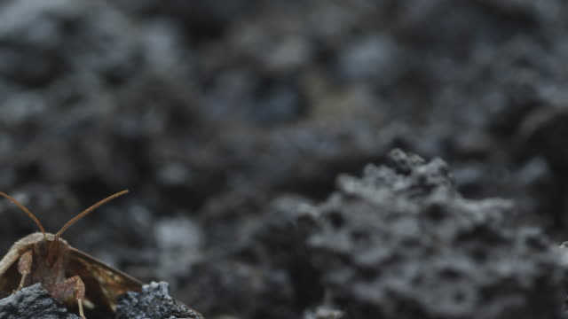 pink insect on volcanic ash, moth in background, nyamuragira, democratic republic of congo, 2011 - 無脊椎動物点の映像素材/bロール