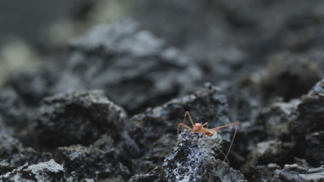 pink insect on volcanic ash, nyamuragira, democratic republic of congo, 2011 - 無脊椎動物点の映像素材/bロール