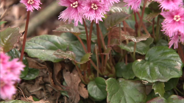 Pink Iwakagami flowers bloom in a forest