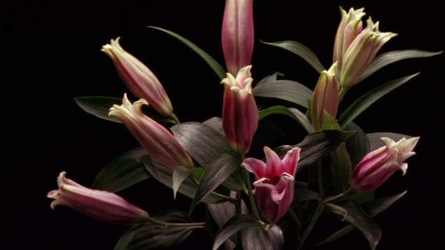 T/L, CU, Pink lilies against black background