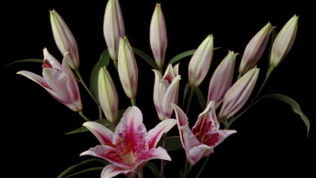 t/l, cu, pink lilies opening and wilting against black background - 枯れた植物点の映像素材/bロール