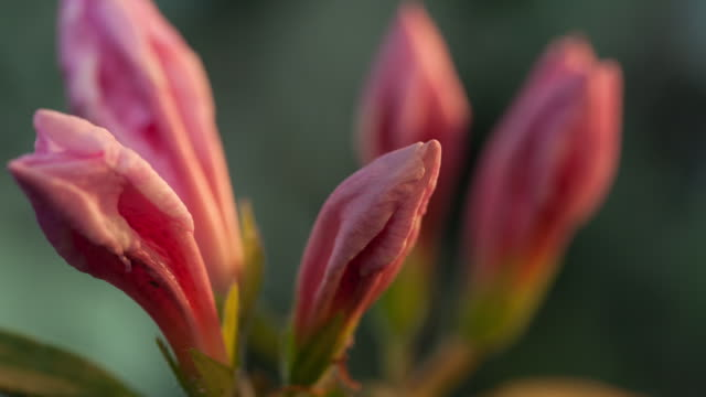 pink lily blooming in studio city - lily stock videos & royalty-free footage