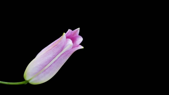 pink lily blooming time lapse - lily stock videos & royalty-free footage