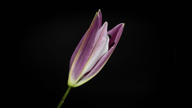 vidéos et rushes de floraison rose nénuphar - lis