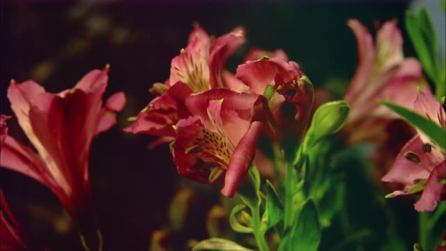 pink lily blossoming available in hd. - pollen grain stock videos & royalty-free footage
