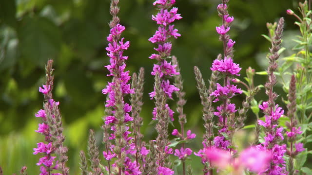 pink loosestrife flowers in a group - plant pod stock videos & royalty-free footage