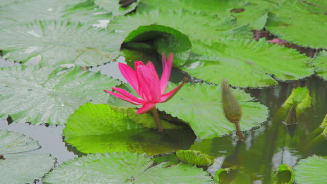 pink lotus bloom time lapse - lotus water lily stock videos and b-roll footage
