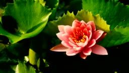 Pink lotus blooming in Timelapse