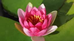 Pink lotus blooming timelapse.