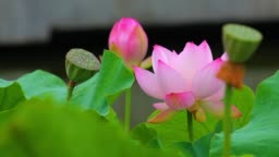 A pink lotus flower and lotus bud in a pond. Pink lotus flower and lotus.