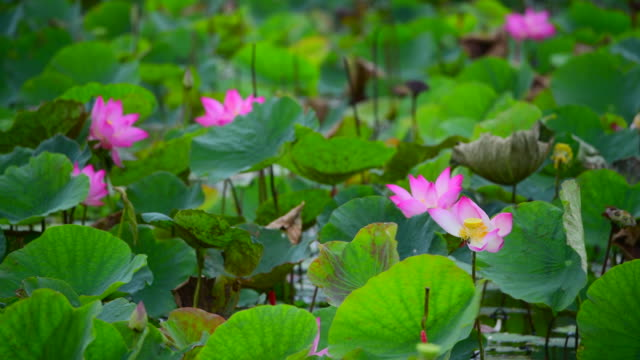 pink lotus flower in a pond - aquatic organism stock videos & royalty-free footage