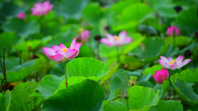 vídeos y material grabado en eventos de stock de rosa flor de loto en un estanque - loto