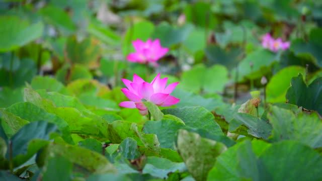pink lotus flower in a pond - pianta acquatica video stock e b–roll