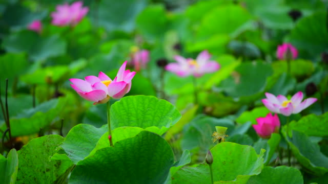 pink lotus flower. the background is the pink lotus flowers and yellow lotus bud in a pond. peace scene in a countryside, vietnam - water plant stock videos and b-roll footage