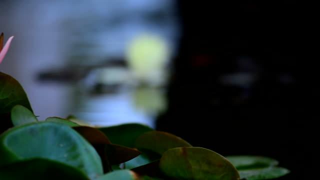 vidéos et rushes de lotus rose - lis