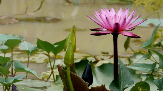 pink lotus - morning glory stock videos & royalty-free footage