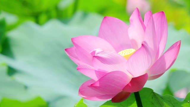 vídeos y material grabado en eventos de stock de rosa lotus - loto