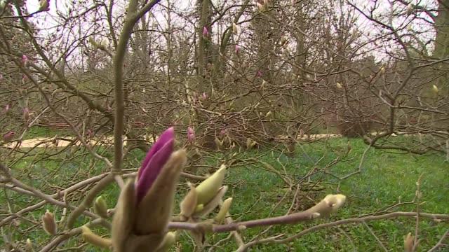 vidéos et rushes de pink magnolia bud - brindille