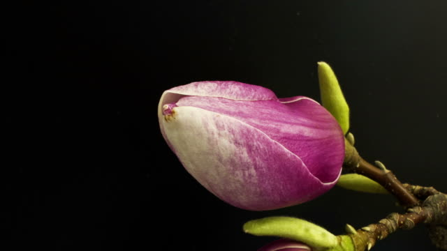 pink magnolia - flower stock videos & royalty-free footage