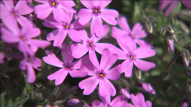 Pink moss phlox flowers bloom in bright sunlight stock footage video pink moss phlox flowers bloom in bright sunlight stock footage video getty images mightylinksfo