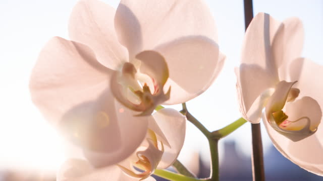 pink orchid blossoms - orchid stock videos & royalty-free footage