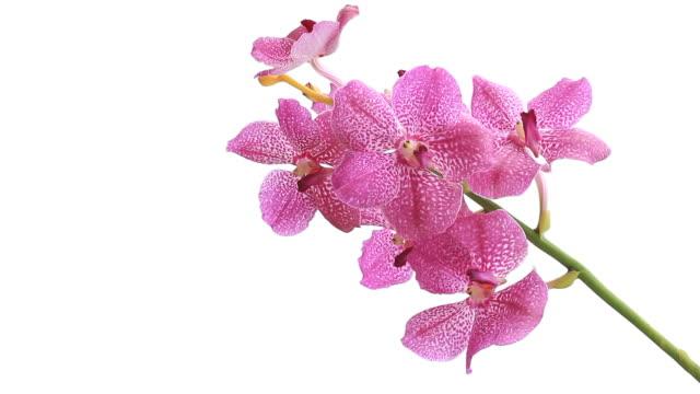 vídeos y material grabado en eventos de stock de rosa orchid - pistilo