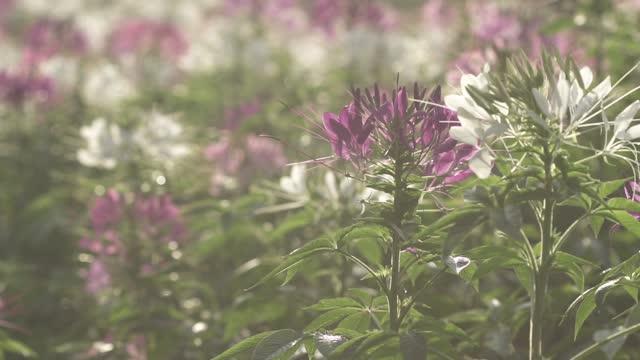 vidéos et rushes de aristatus rose d'orthosiphon dans le jardin. - hd format