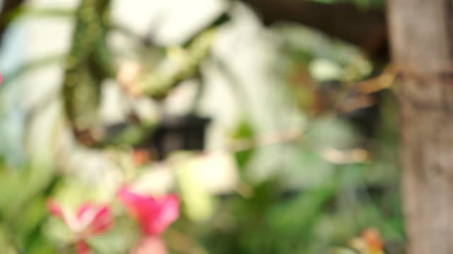 vídeos de stock, filmes e b-roll de - de-rosa flor de papel - arbusto tropical