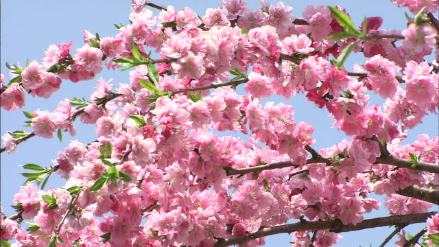 Pink peach flowers   Pan Down