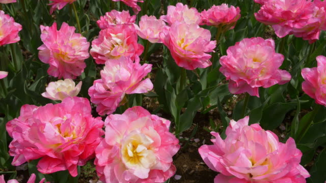 Pink peony bloom dolly motion