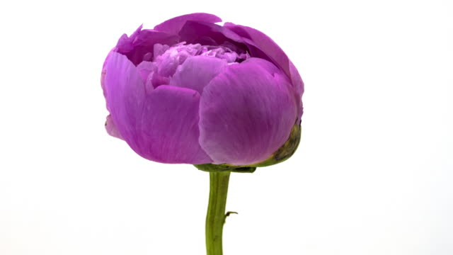 Pink Peony Blooming