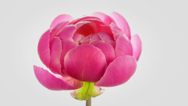 pink peony blooming - single flower stock videos & royalty-free footage