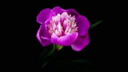Pink peony flower blooming timelapse
