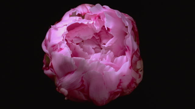t/l, cu, pink peony flower opening against black background - flower点の映像素材/bロール