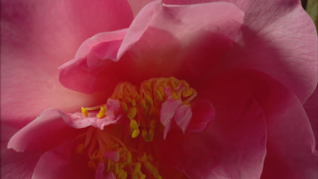 T/L, ECU, Pink peony flower opening and withering